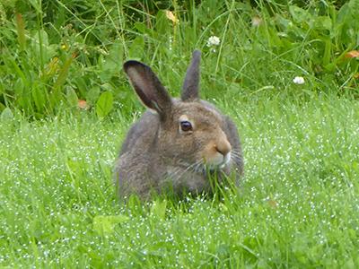 400 hare