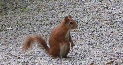 red squirrel 400
