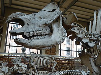 400 rhino skeleton