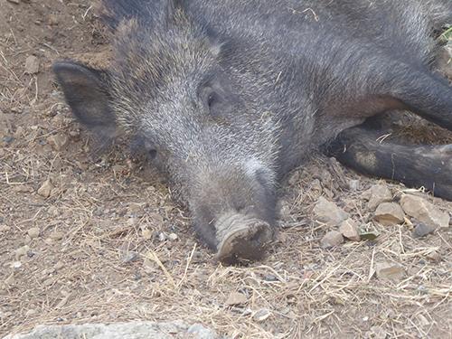 500 boar head