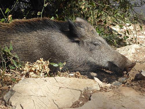 500 wild boar