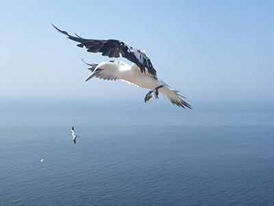 400 gannet flying